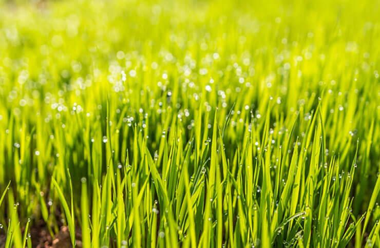 Understanding the germination period of your chosen grass seed